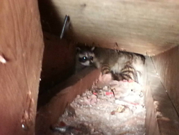 Raccoon Family in Attic