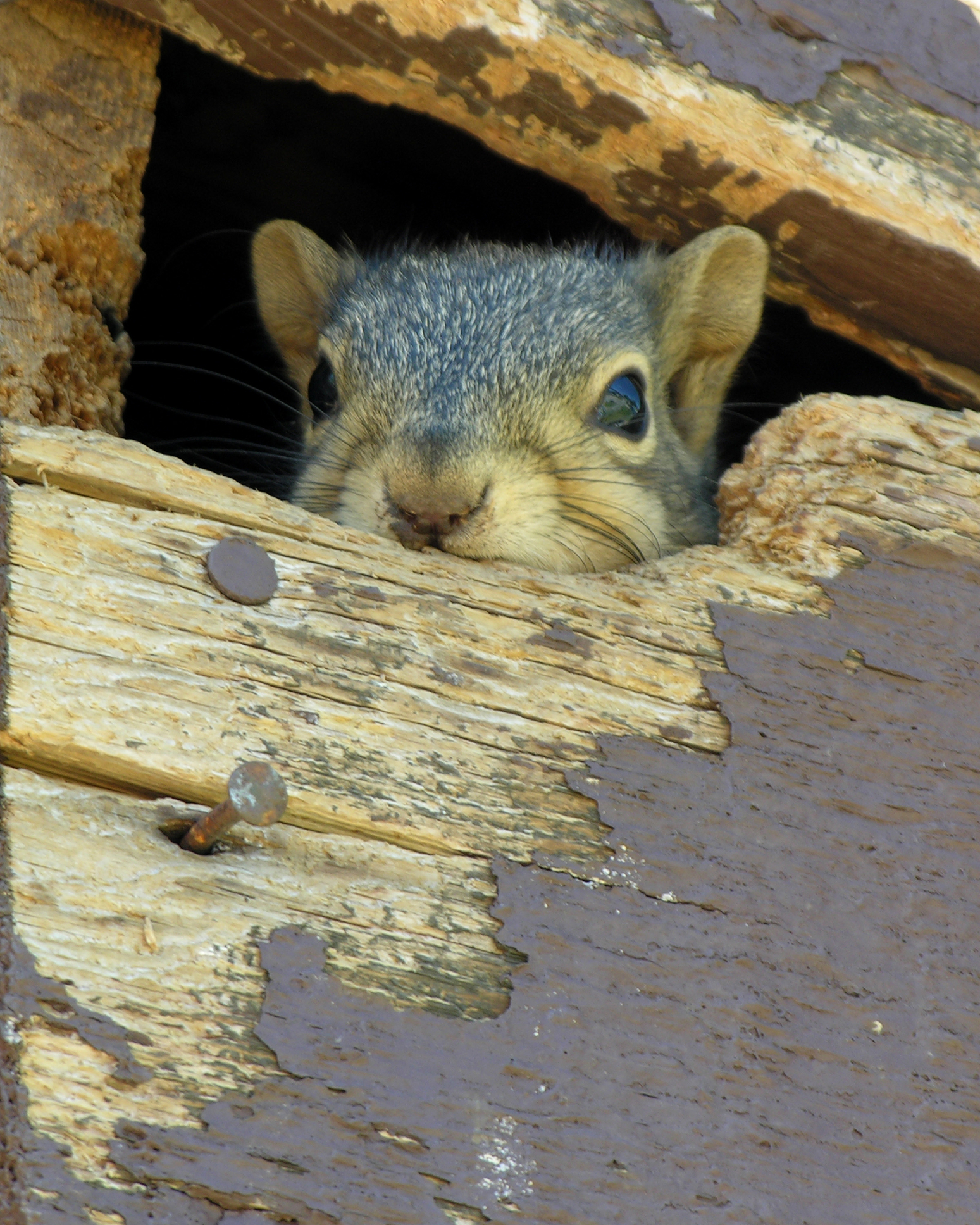 Removing squirrels from Cape Cod homes.