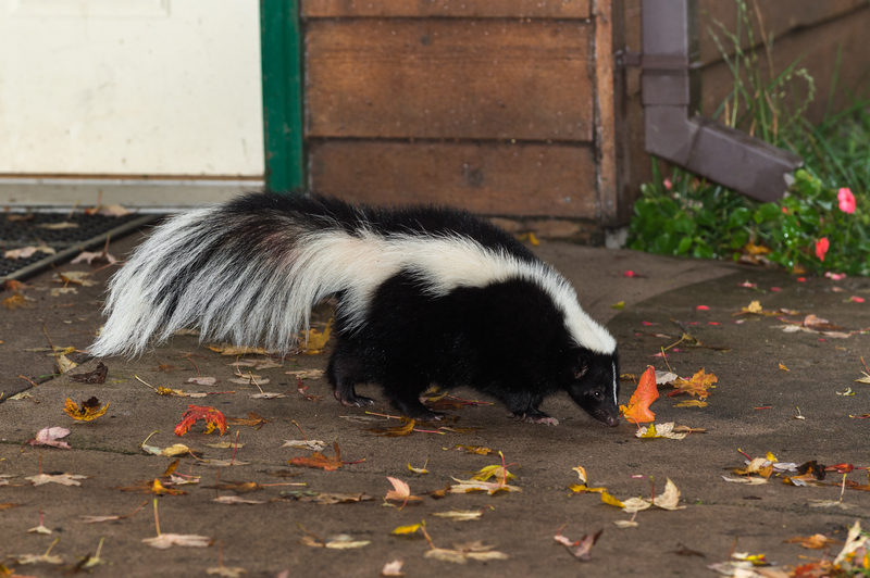 Removing and trapping skunks on your property