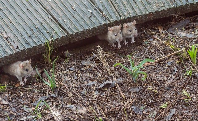 Three Mice Under Cape Cod Deck