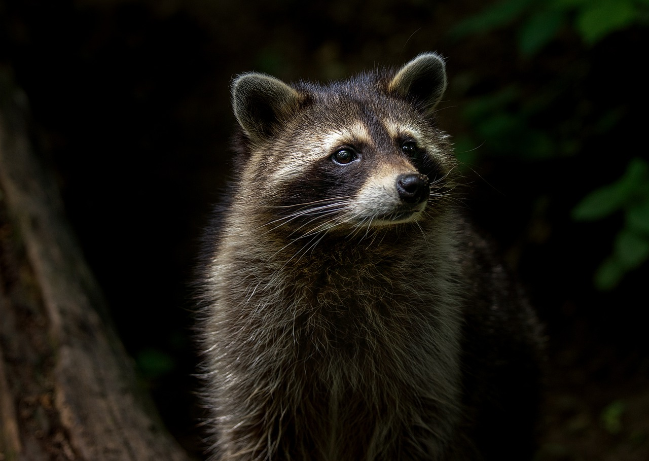 Large Raccoon in Cape Cod