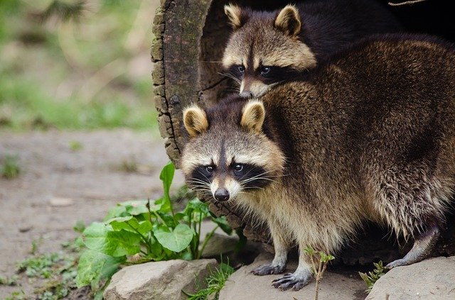 Raccoons On Cape Cod Property, Rocks and Hollow Tree