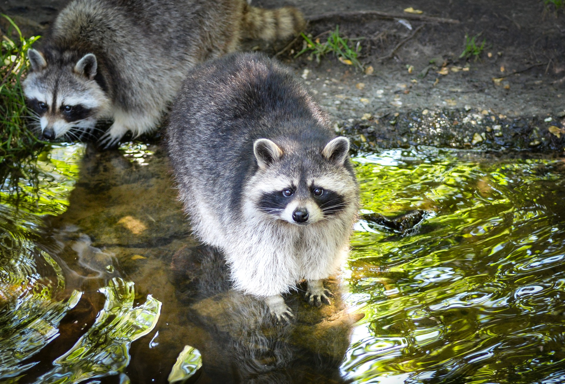 Removing and controlling raccoon issues in Cape Cod